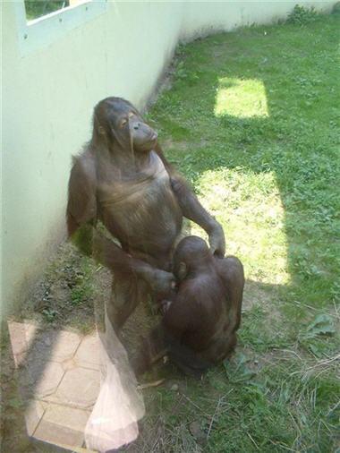 El hombre desciende del mono2